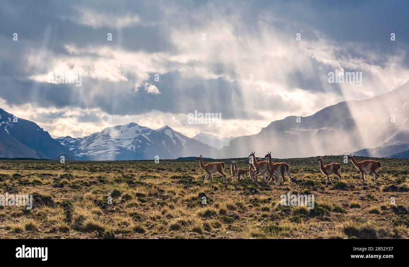 Un troupeau de wanaco coule librement dans le Parque Nacional Perito Moreno avec les Andes comme toile de fond, la Patagonie Argentine Banque D'Images