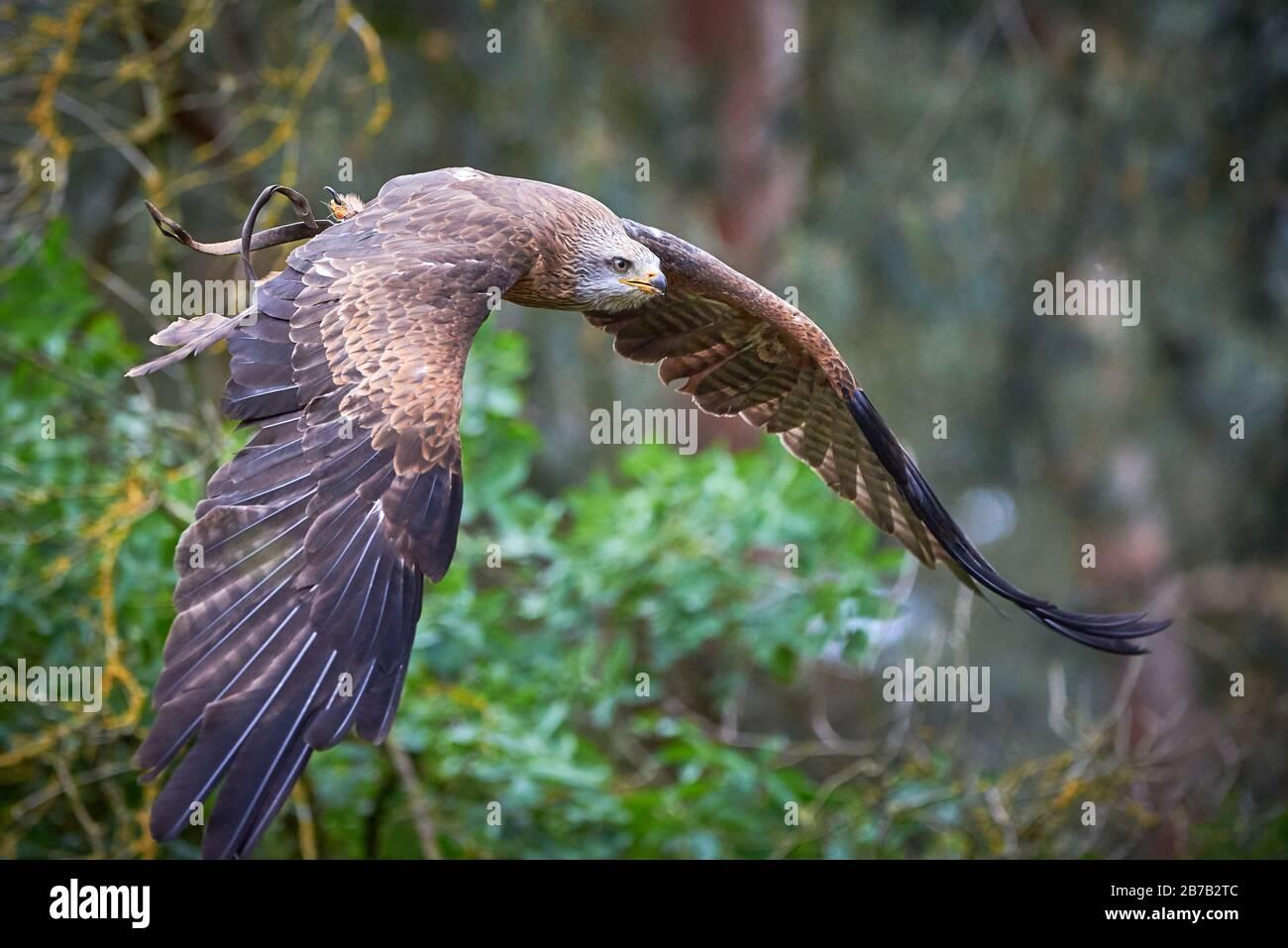 Black Kite en vol (Milvus migrans) Falconry Banque D'Images