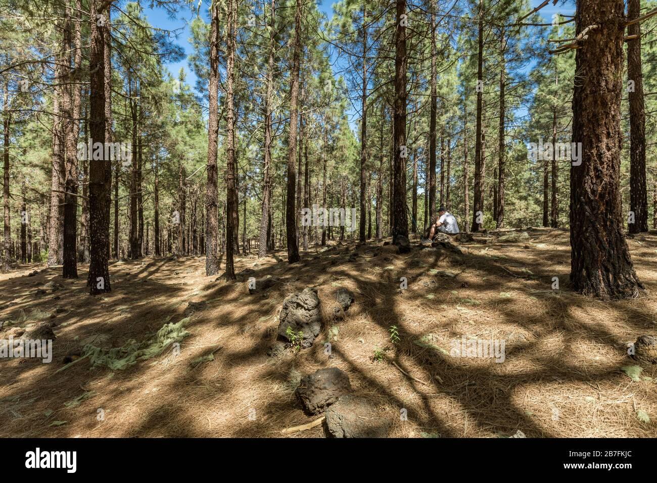 Forêt de pins près du volcan Arenas Negras. Ciel bleu vif et nuages blancs. Le jeune voyageur est assis sur une pierre a un déjeuner et repose. Tenerife, CAN Banque D'Images