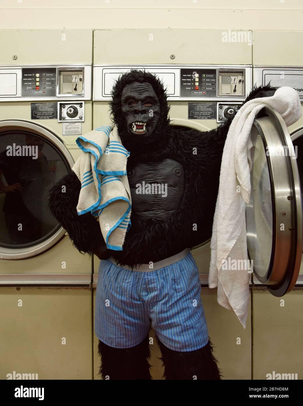 Une personne dans un costume de gorille est debout à une laverie automatique portant des boxers lavant des serviettes pour un concept drôle de responsabilité. Banque D'Images