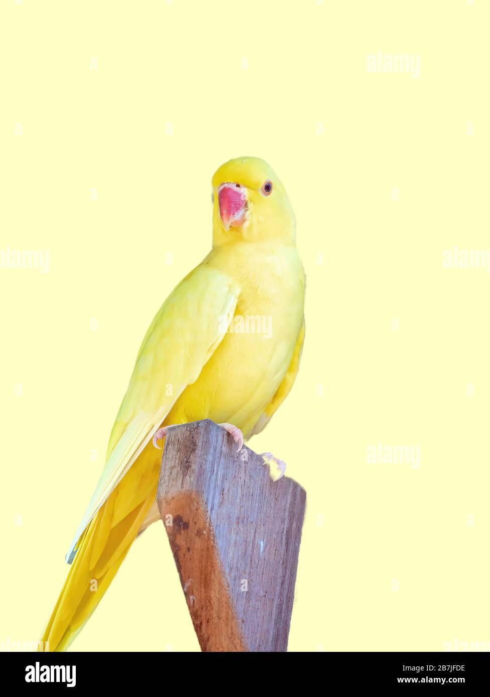 Gros plan d'un perroquet jaune assis à l'extérieur de sa maison d'oiseaux où il niche Banque D'Images