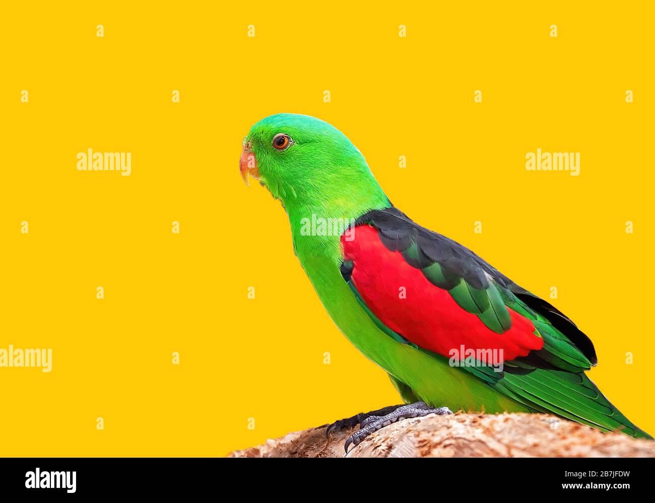 Un perroquet à ailes rouges assis sur une perchaude dans sa cage Banque D'Images