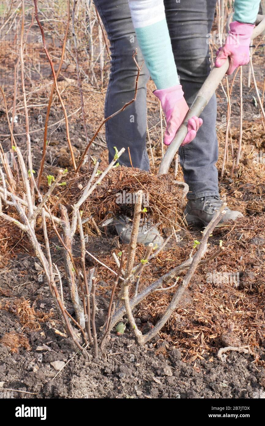 Paillis Noix De Coco mulch fruit photos & mulch fruit images - alamy