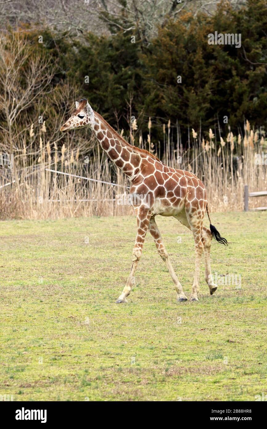 Une jeune Giraffe réticulée, Giraffa camelopardalis reticulata, marche. Cape May County Park & Zoo, New Jersey, États-Unis Banque D'Images