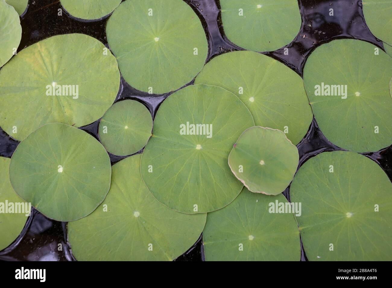 Vue sur les plantes en nénuphars Banque D'Images