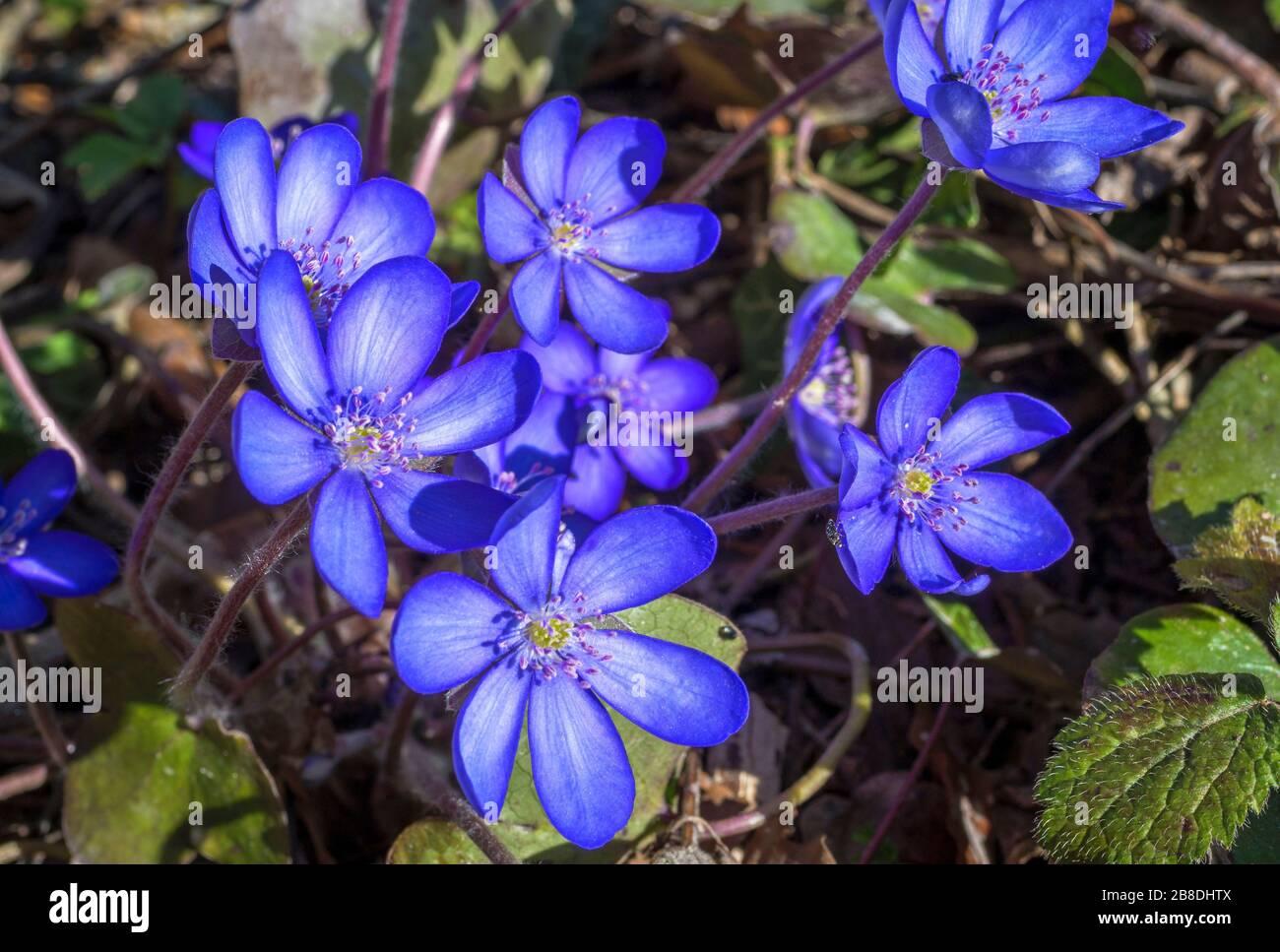 Liverflower (Hepatica nobilis), fleurs, Bavière, Allemagne, Europe Banque D'Images