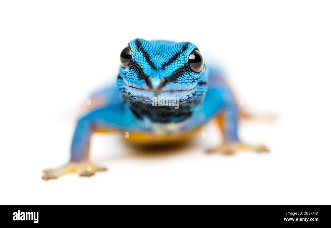Gecko bleu électrique, Lygodactylus williamsi, isolé Banque D'Images