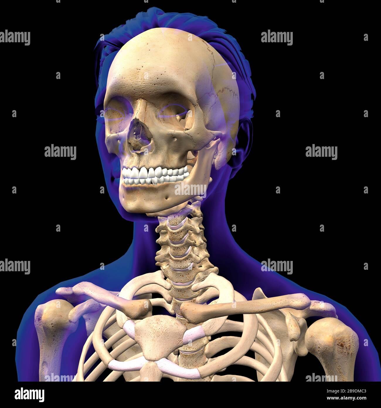 Illustration tridimensionnelle du crâne féminin, des épaules et de la colonne vertébrale à l'intérieur d'un contour indigo transparent. Banque D'Images