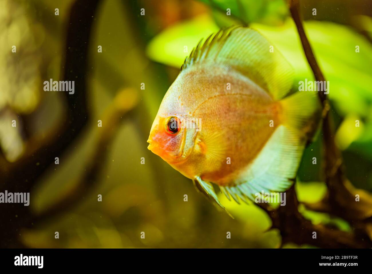 Portrait d'un jaune tropical Symphysodon discus poisson dans un réservoir de poisson. Banque D'Images