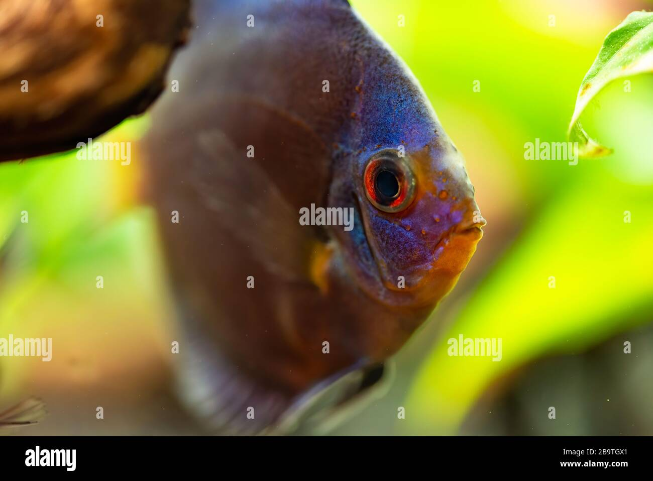 Portrait d'un bleu tropical Symphysodon discus poisson dans un réservoir de poisson. Banque D'Images