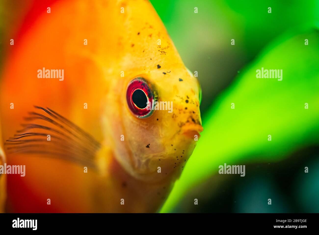 Portrait d'un rouge orange tropical Symphysodon discus poisson dans un réservoir à poissons. Banque D'Images