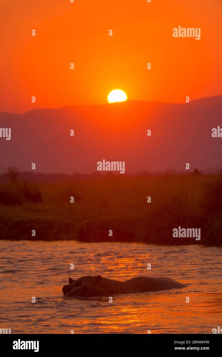 Un Hippopotamus vu dans la rivière Zambèze au coucher du soleil, Mana Pools National Park, Zimbabwe. Banque D'Images