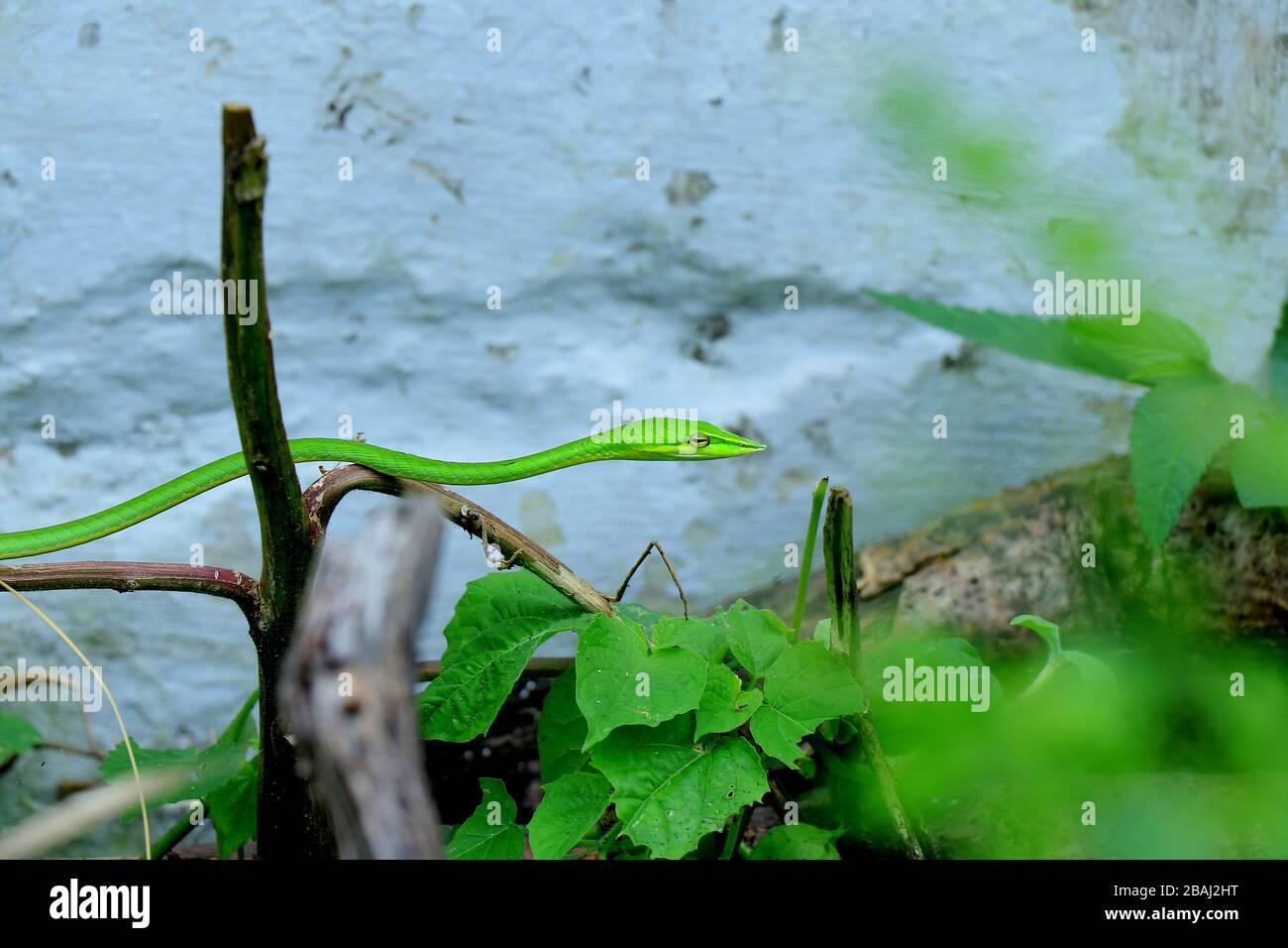 Un serpent vert ou un serpent à nez long ou un serpent de vigne ou un reptile capturé à ma maison, le nom botanique du reptile est ahaetulla nasuta. Banque D'Images