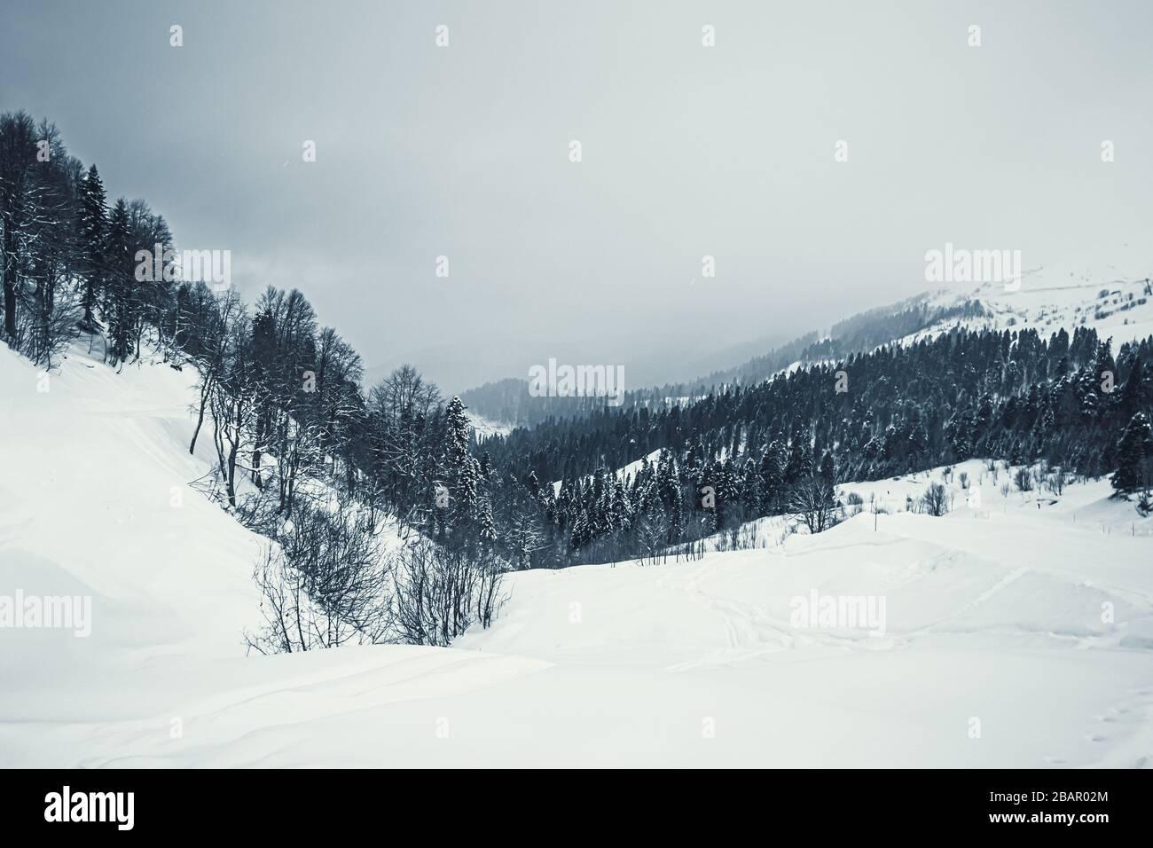 Arbres d'épinette enneigés dans les montagnes du Caucase, Sotchi, Russie. Banque D'Images