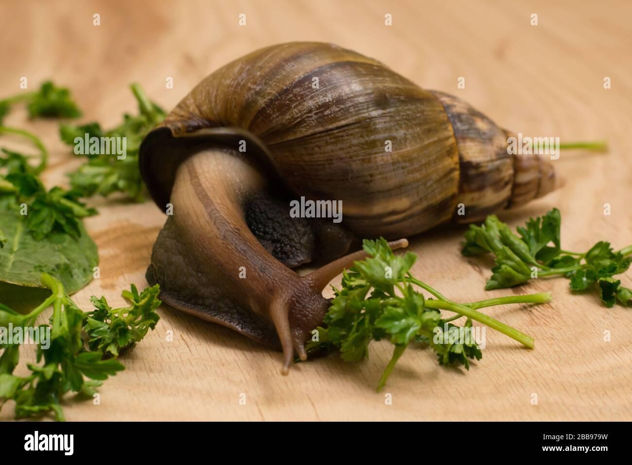 L Escargot D Achatina Africaine Mange Des Legumes Verts A La Maison Sur Fond De Bois Photo Stock Alamy