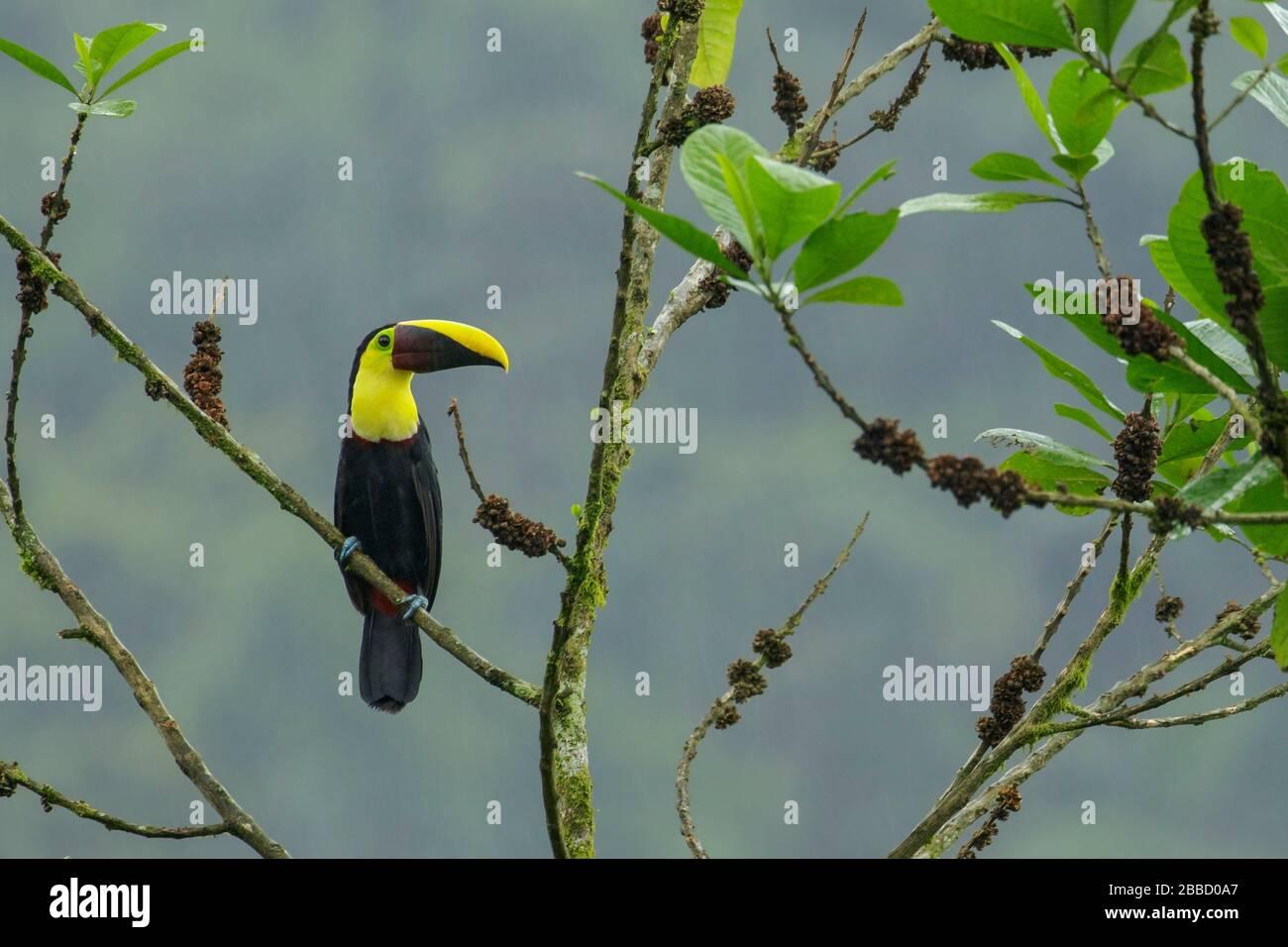 Toucan en châtaignier perché sur une branche dans le sud de l'Équateur Banque D'Images