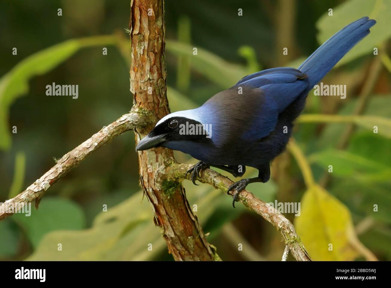 Magnifique Jay (Cyanolyca pulchra) perché sur une branche dans les montagnes des Andes en Colombie. Banque D'Images