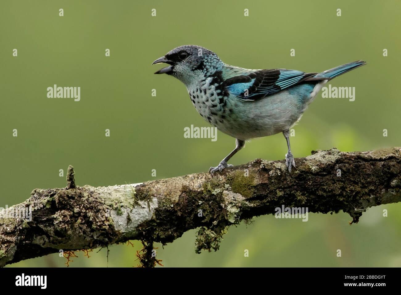 Tanager à la rumeur d'Azur (Tangara capanisi) perché sur une branche au Guatemala en Amérique centrale. Banque D'Images