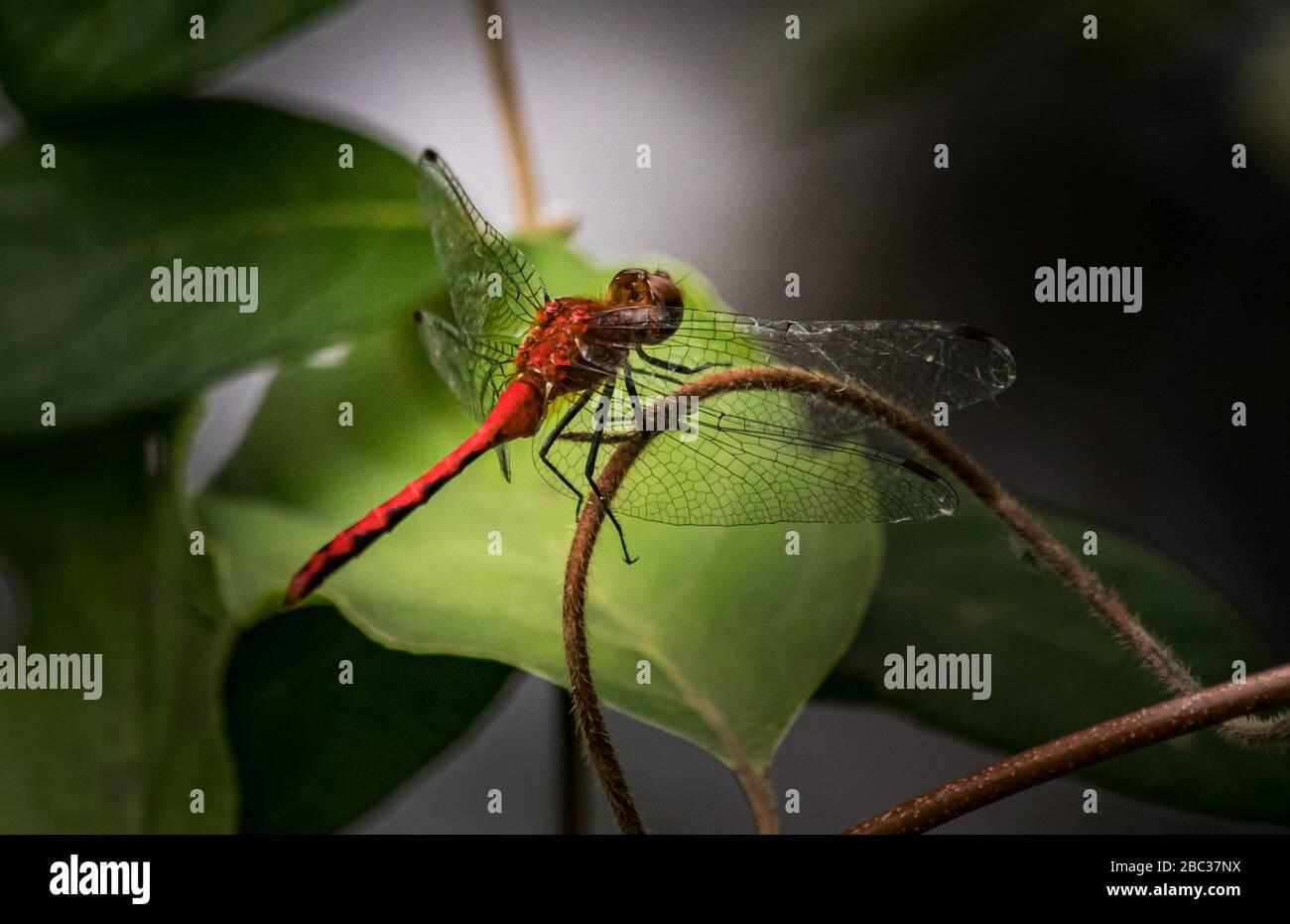 Une libellule Ruby Meadowhawk voit quelque chose de plus intéressant Banque D'Images