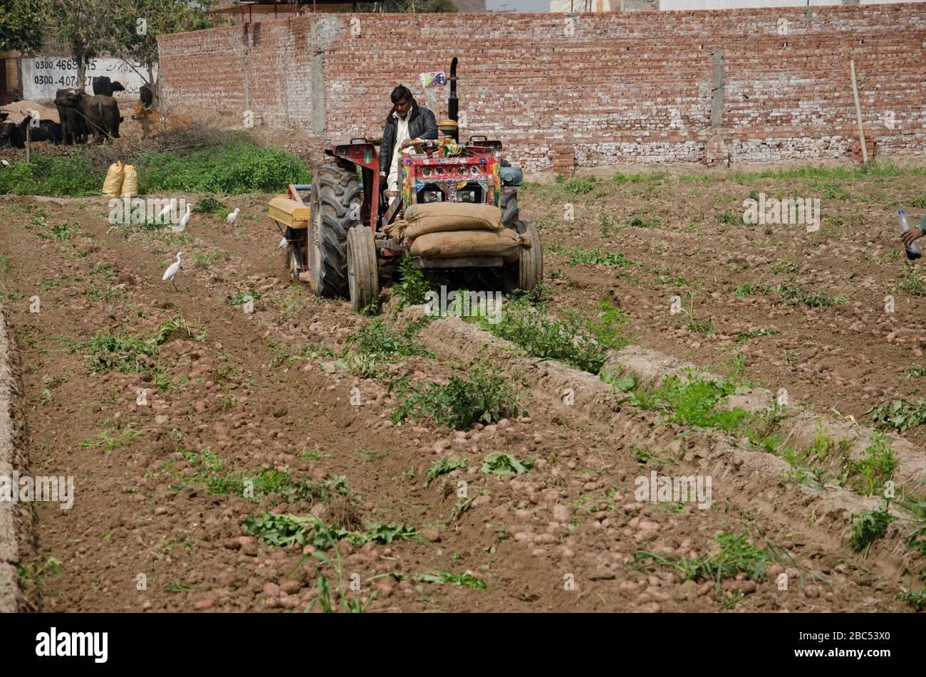 Agriculteur utilisant une machine de récolte de pommes de terre dans le district de Sharaqpur, au Punjab, au Pakistan. Banque D'Images