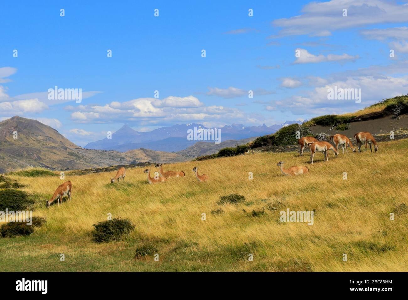 Guanacos dans le parc national de Torres del Paine, région de Magallanes, Patagonie, Chili, Amérique du Sud Banque D'Images