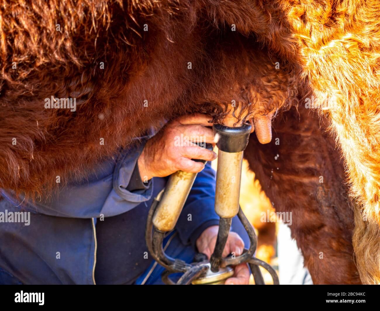 L'éleveur de montagne Guy Chambon dans le Cantal qui traite le bétail des Salers dans le pâturage alpin au Col de Néronne, Alm des Buron d'Algour. Banque D'Images