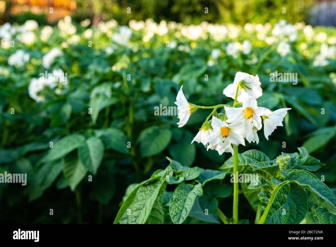 Buissons de pommes de terre fleuries. Fleur de pomme de terre avec fleurs blanches Banque D'Images