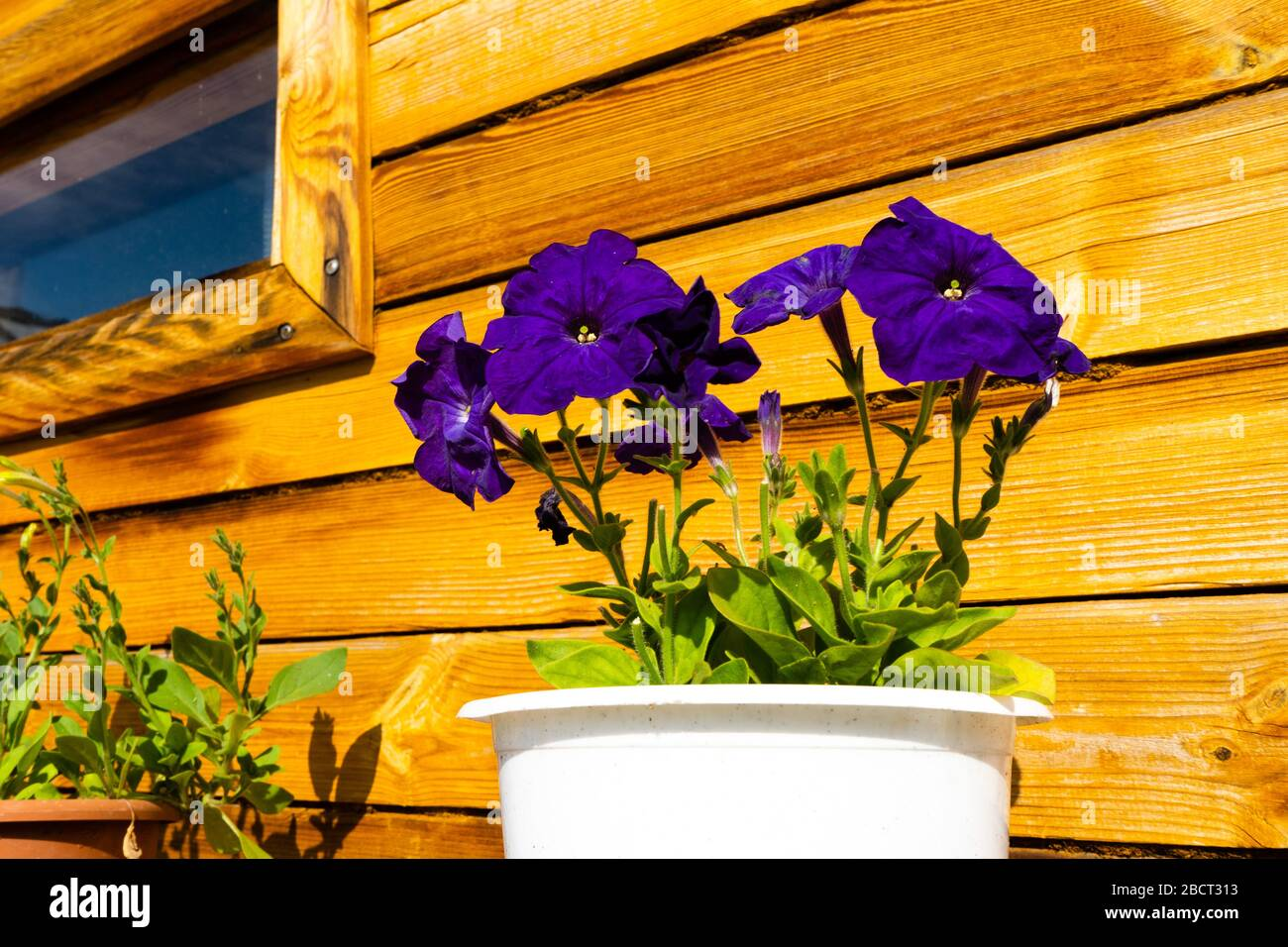 Pétunia violet foncé fleurs dans un pot près d'un mur en bois. Banque D'Images