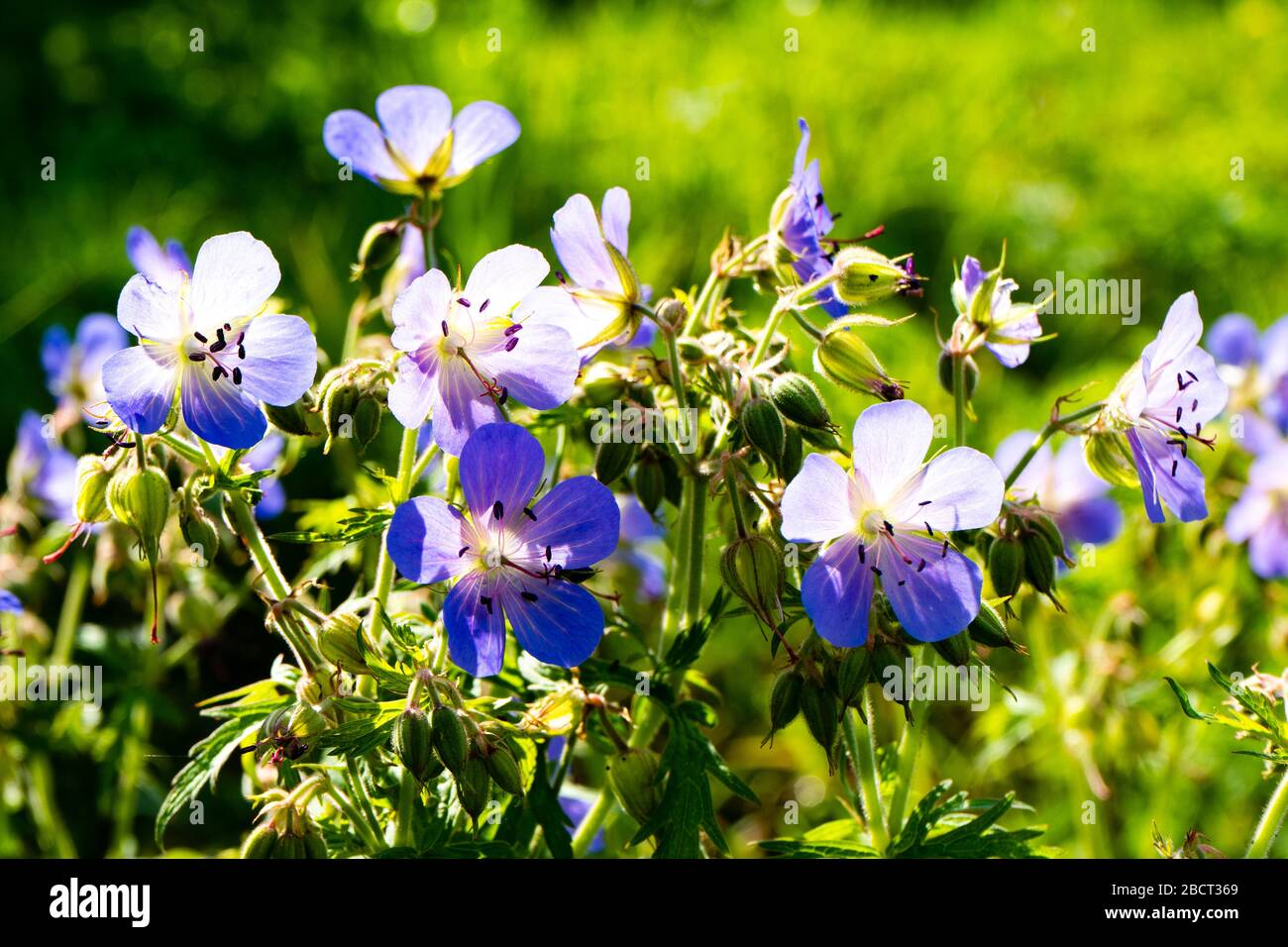 Viscosissimum Géranium ou Sticky Géranium dans le jardin. Soleil Banque D'Images