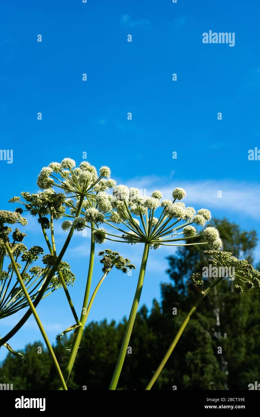 Parasols sphériques jardin Angelica sur un fond de ciel bleu. Céleri sauvage et Angelica Angelica archangelica norvégienne . Banque D'Images