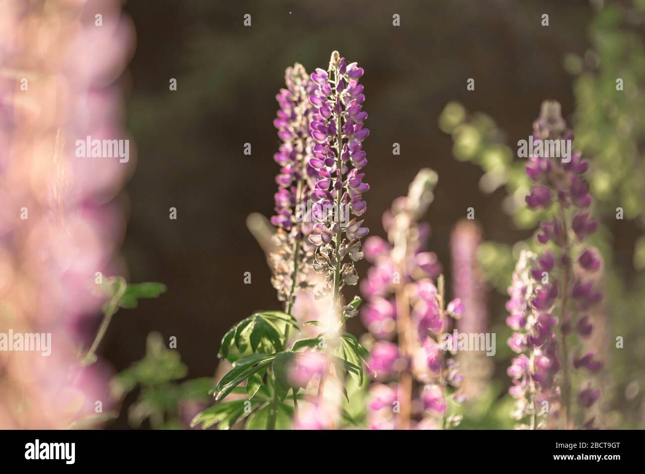 Champ de lupin gonflant à la lumière du soleil. Fleurs d'été violettes sur fond flou. Biélorussie, Minsk Banque D'Images