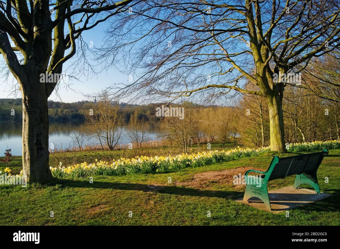 Royaume-Uni, Yorkshire du Sud, Barnsley, réserve naturelle Elsecar, Daffodils et banc surplombant le réservoir Banque D'Images