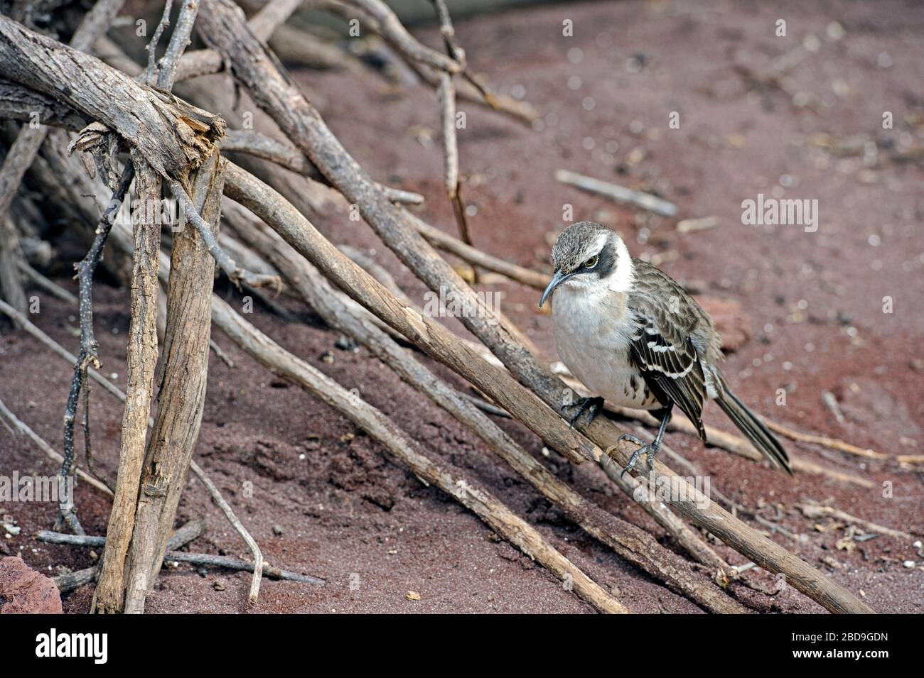 Le galápagos mockingbird (Mimus parvulus) est une espèce d'oiseau de la famille des Mimidae Banque D'Images