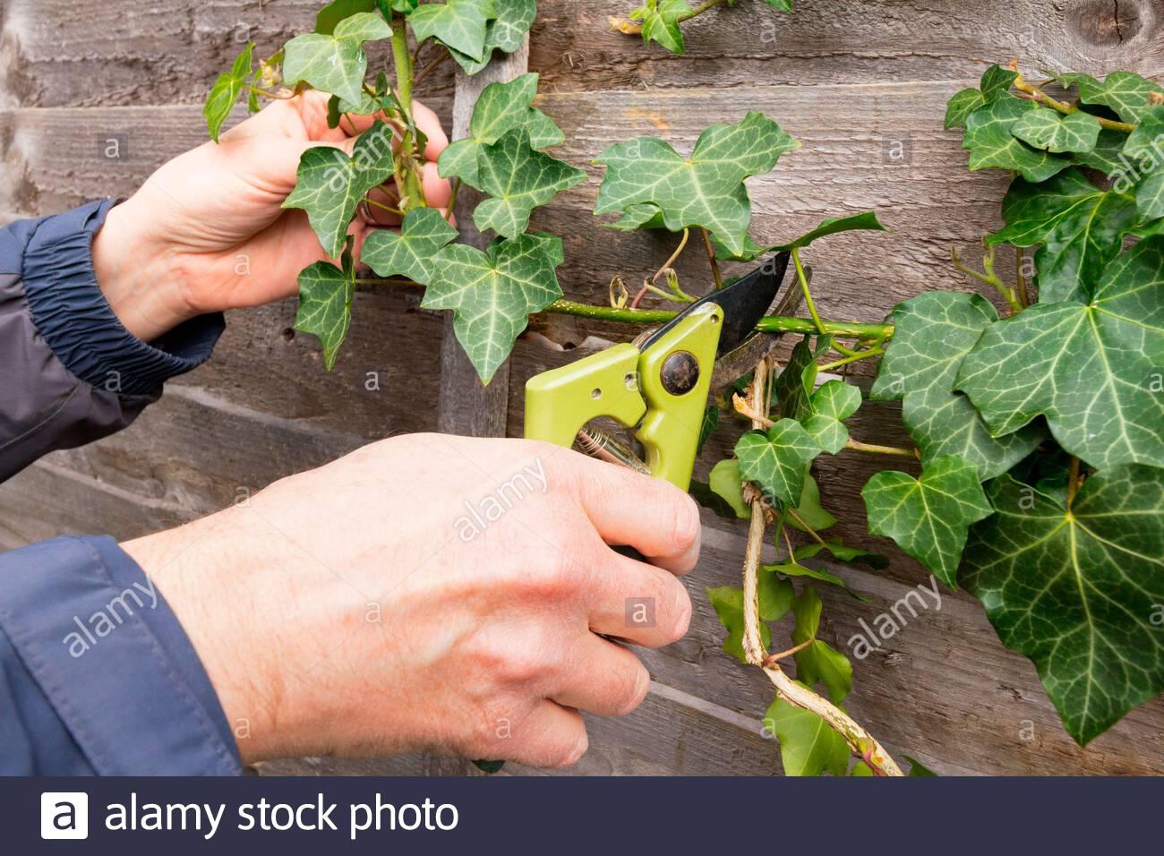 Jardinier taille arrière ivy plante qui pousse sur une clôture Banque D'Images