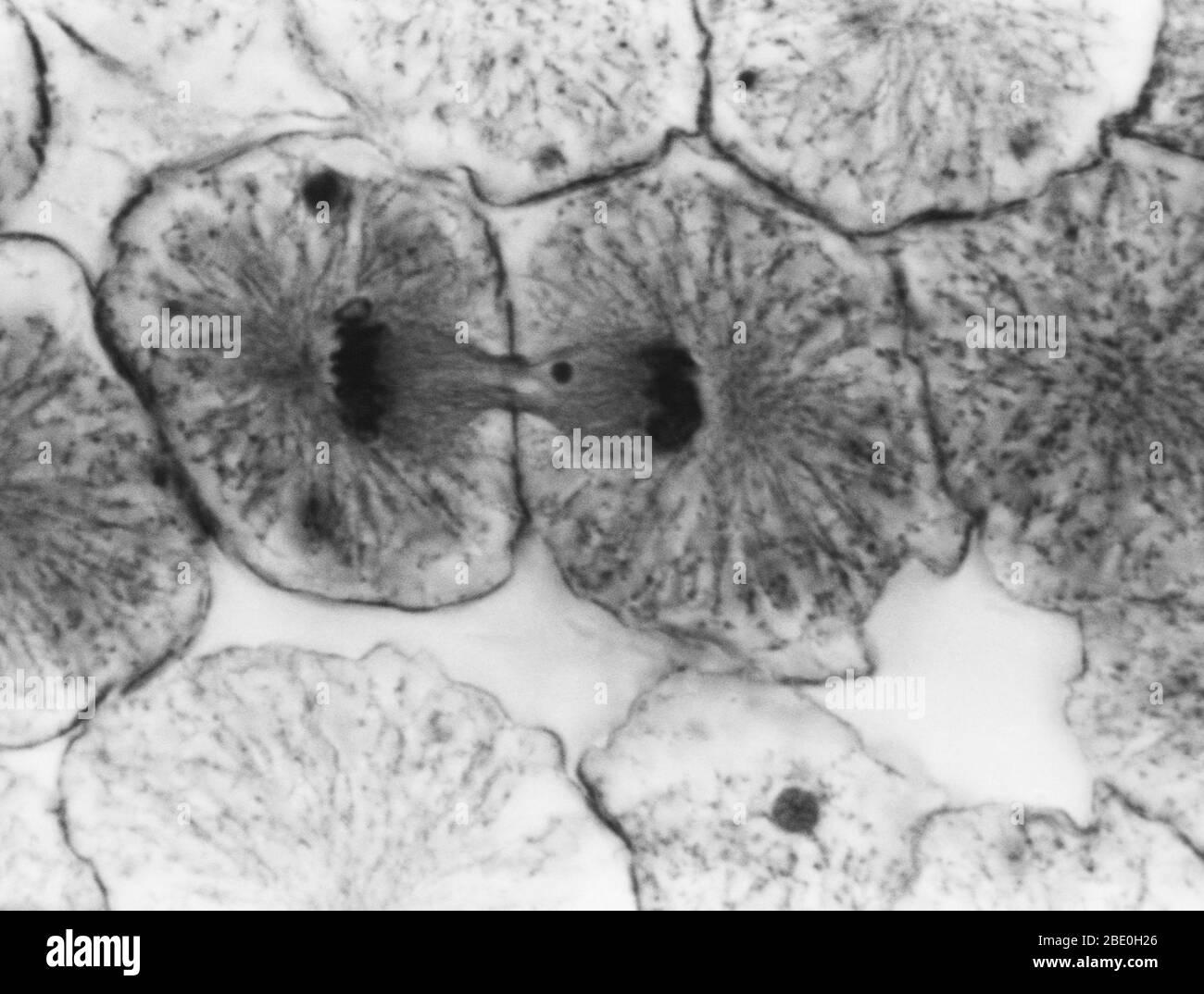 Micrographe léger montrant la mitose dans la blastula de corégone, la telophase. Aucun agrandissement donné. Mitose, la méthode habituelle de division cellulaire, caractérisée typiquement par la résolution de la chromatine du noyau en une forme de thrélike, qui se condense en chromosomes, chacun d'eux se sépare longitudinalement en deux parties, une partie de chaque chromosome étant retenue dans chacune des deux nouvelles cellules résultant de la cellule d'origine. Les quatre principales phases de la mitose sont la prophase, la métaphase, l'anaphase et la télophase. Blastula, un embryon animal à l'étape immédiatement après la division de l'e fertilisé Banque D'Images