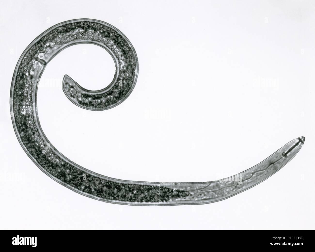 Micrographe léger d'un ver rond, ou nématode (Helicotylenchus sp.). Femme. Banque D'Images
