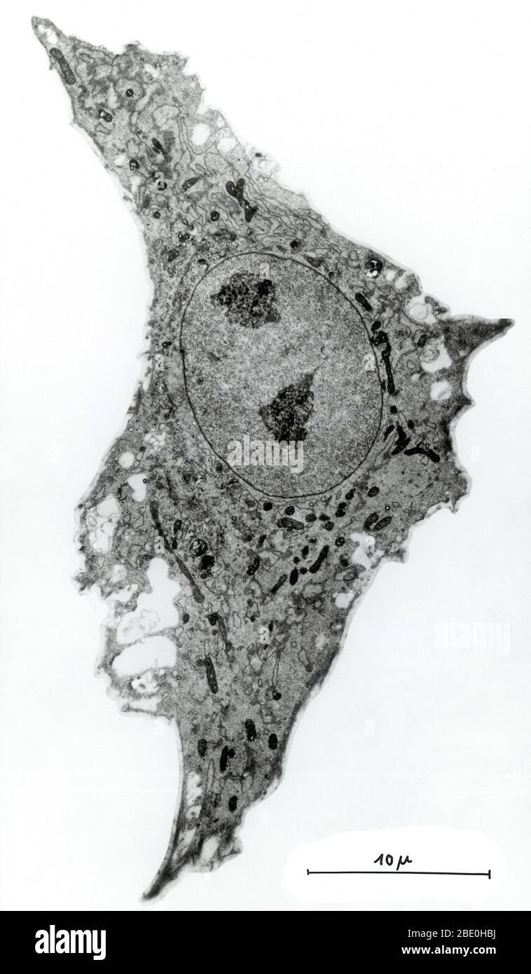 Micrographe léger de la cellule de culture tissulaire du cœur du poulet. Agrandissement 4 500 x. Banque D'Images