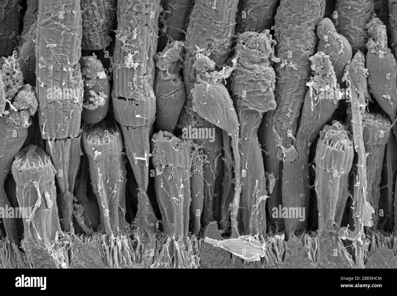 Balayage micrographe électronique (SEM) de la tige et de la structure conique d'une rétine d'amphibiens. Les cellules de tige sont des cellules de photorécepteur dans la rétine de l'œil qui peuvent fonctionner dans une lumière moins intense que l'autre type de photorécepteur visuel, cellules de cône. Les tiges sont habituellement concentrées sur les bords extérieurs de la rétine et sont utilisées dans la vision périphérique. Les cellules de cône, ou cônes, sont l'un des trois types de cellules de photorécepteur dans la rétine des yeux de mammifères. Ils sont responsables de la vision et du fonctionnement des couleurs le mieux dans une lumière relativement vive, par opposition aux cellules de tige, qui fonctionnent mieux dans la lumière faible. La nuit Banque D'Images