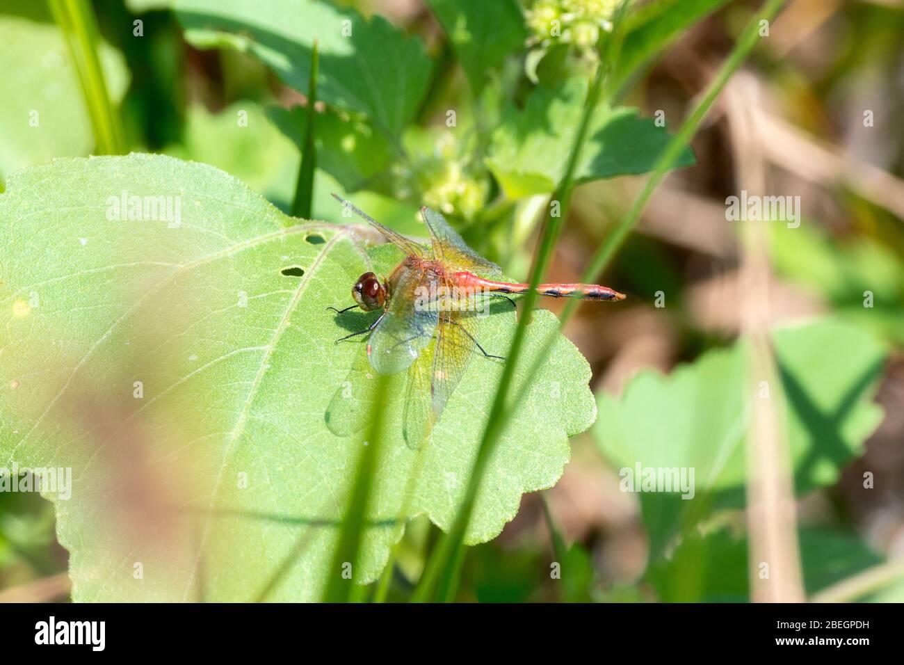 Ruby Meadowhawk Dragonfly (Sympitum rubicolum) perchée sur une feuille dans l'est du Colorado Banque D'Images