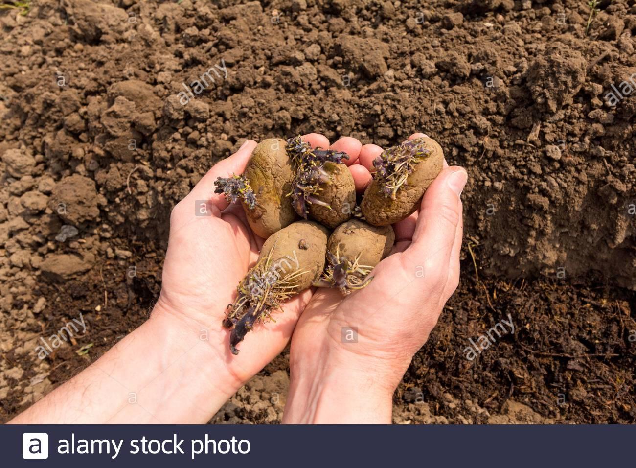 Jardinier tenant les pommes de terre dénoyautées dans la paume de leur main - la variété est Kestrel Banque D'Images