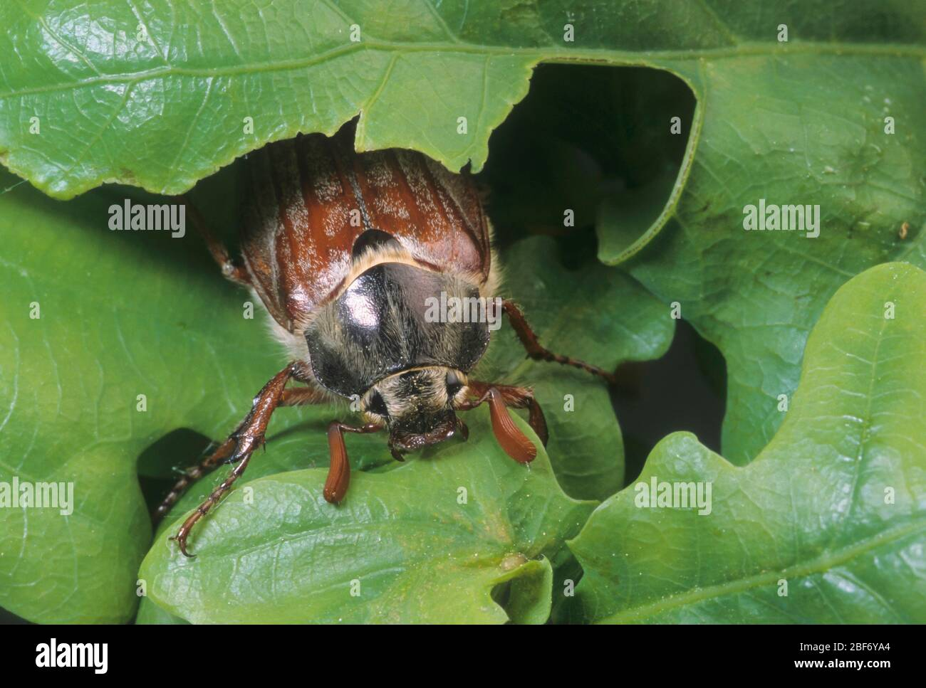 Cocarde commune, Maybug, Maycotele (Melolontha melolontha), se nourrit de chêne Banque D'Images