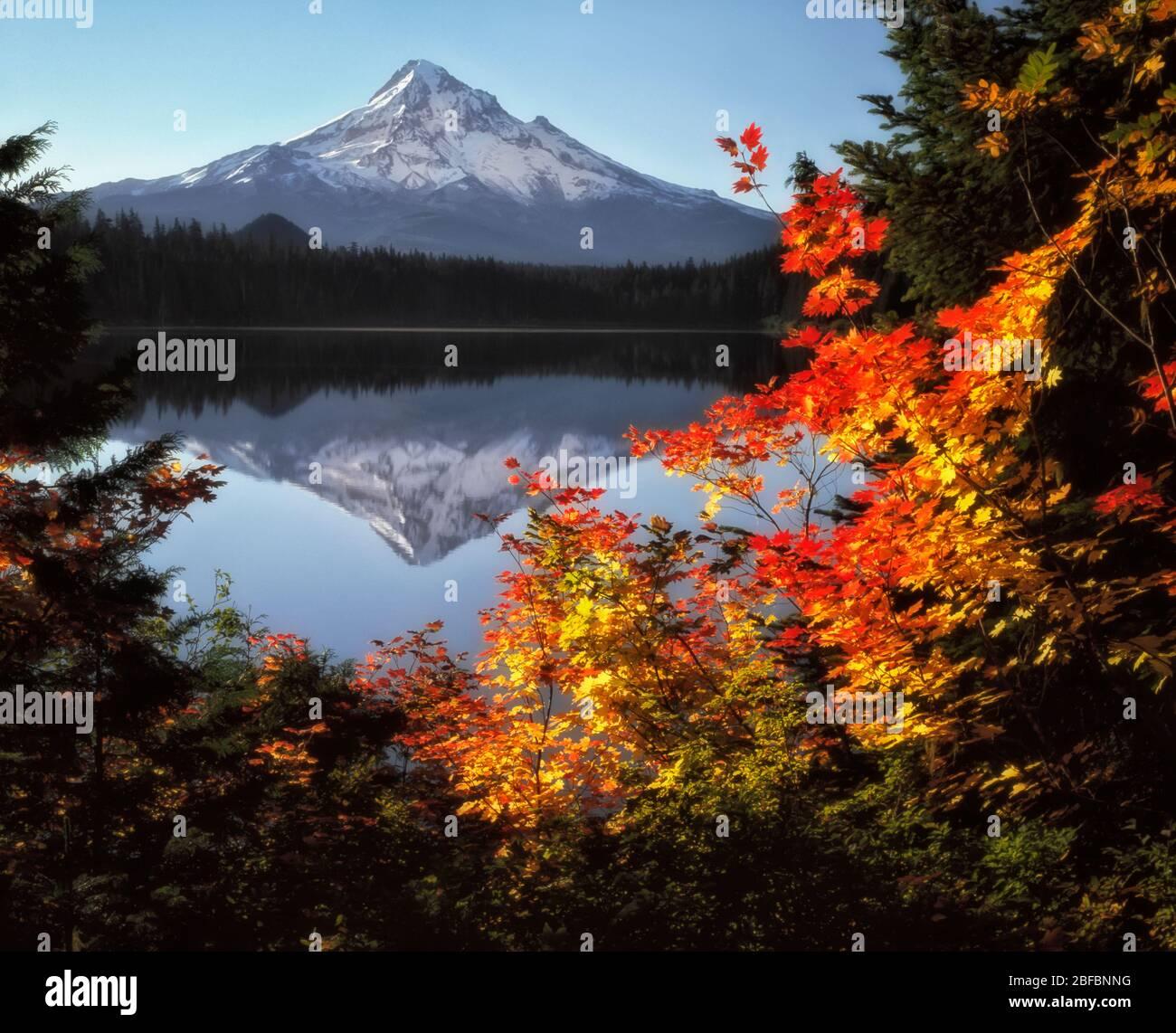 Le soleil de l'automne matinal baigne les arbres en érable à feuilles de vigne qui encadrent le plus haut sommet de l'Oregon, le Mt Hood se reflétant dans le lac Lost. Banque D'Images