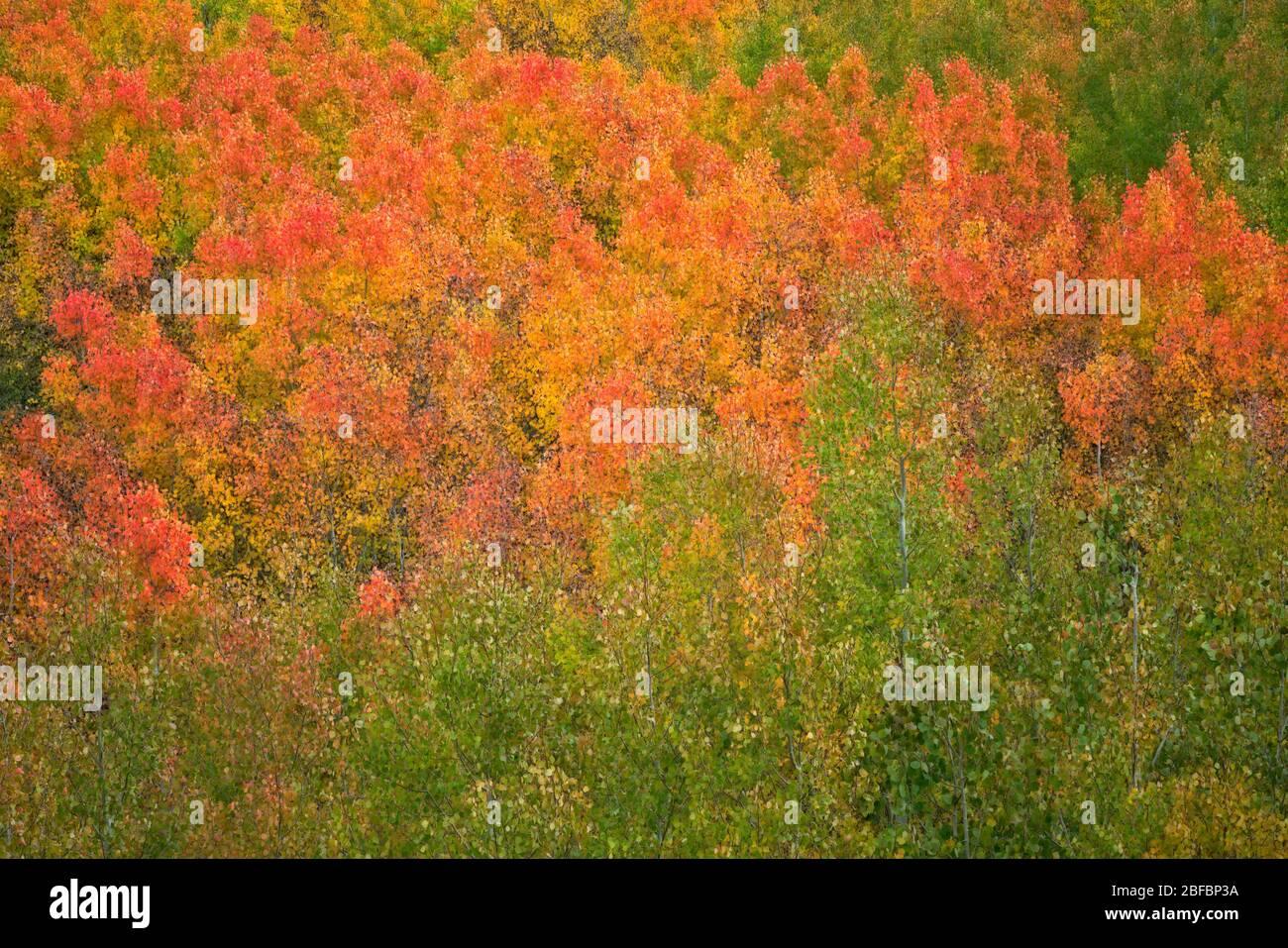 Arbres à trembles en automne dans le canyon Bishop Creek de Californie et dans la forêt nationale d'Inyo. Banque D'Images