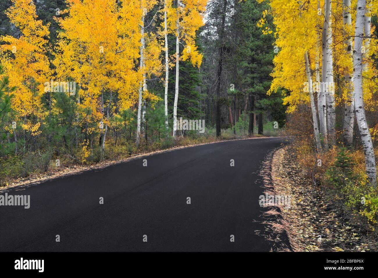 Des arbres à trembles qui changent l'automne bordent la route vers le Ranch Black Butte du centre de l'Oregon. Banque D'Images