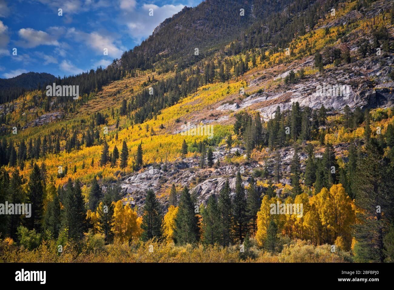 Arbres à trembles en automne sur les pentes de Bishop Creek Canyon dans la Sierras orientale de Californie et la forêt nationale d'Inyo. Banque D'Images