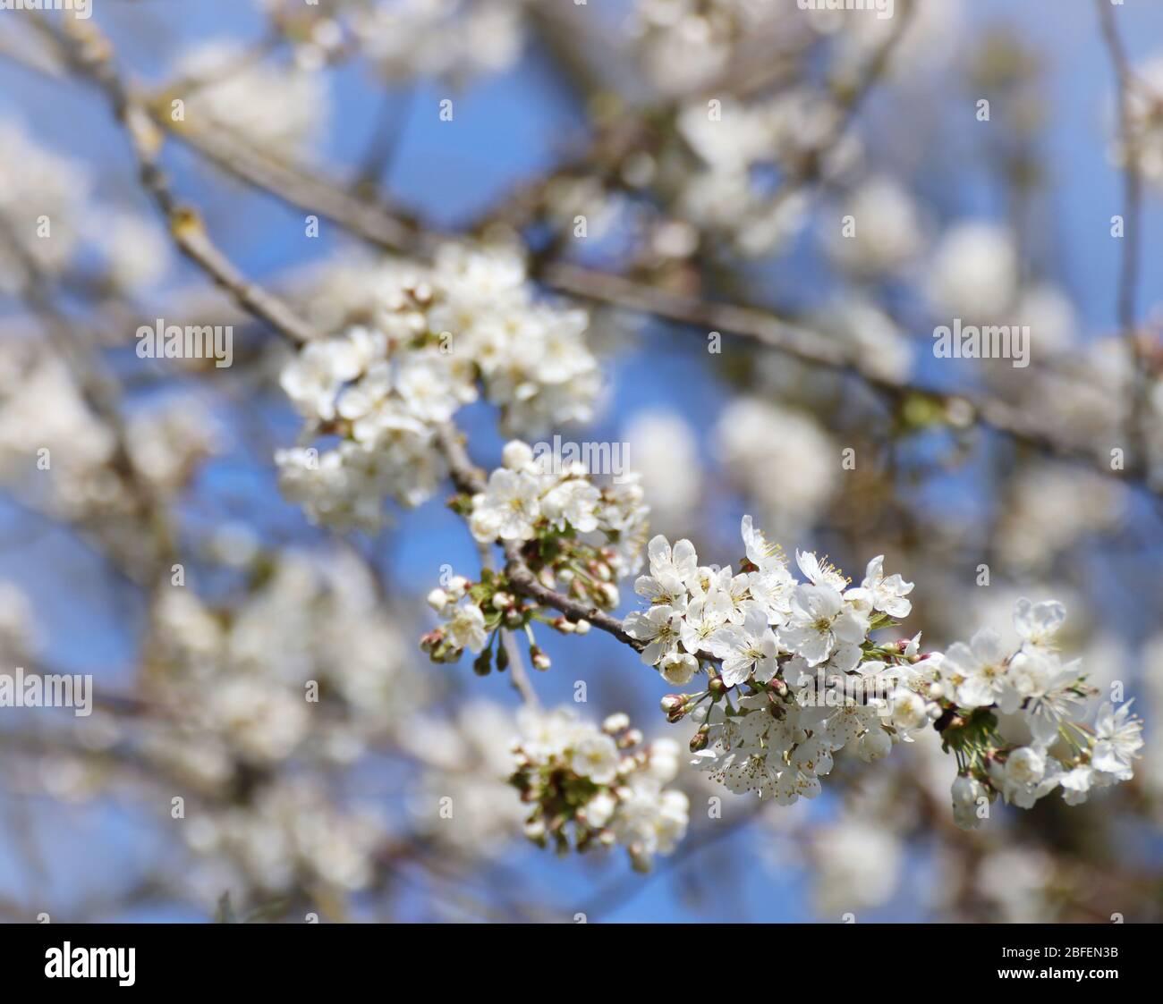 Printemps au Bayern, fleurs blanches sur les pommiers contre le ciel bleu, gros plan, doux foyer Banque D'Images