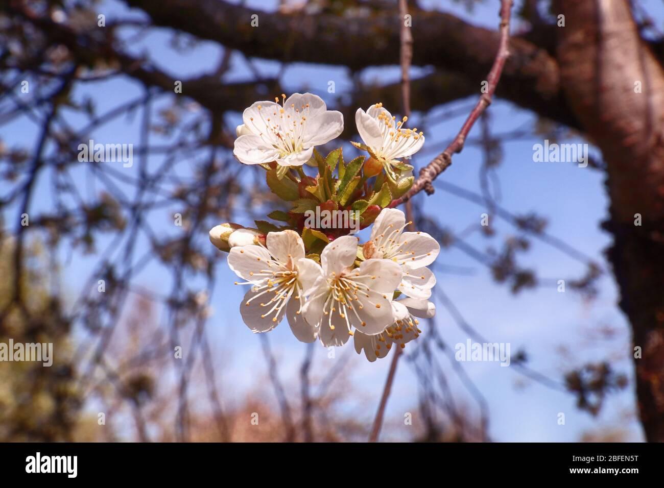 Printemps au Bayern, fleurs blanches sur les pommiers dans le jardin, foyer doux Banque D'Images