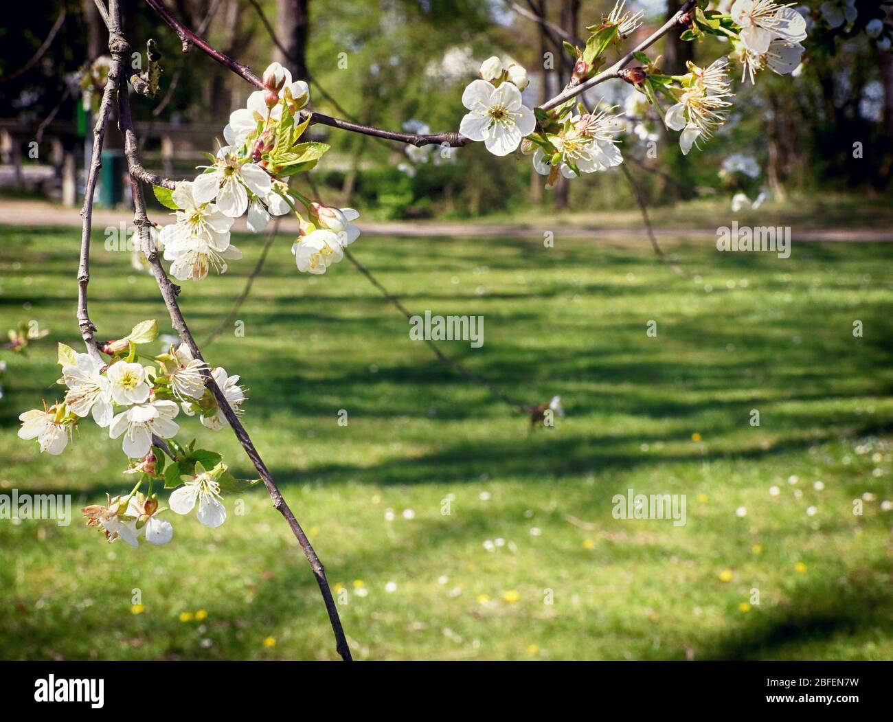 Printemps au Bayern, branche de pommier pleine de fleurs blanches dans le verger, gros plan, doux foyer Banque D'Images