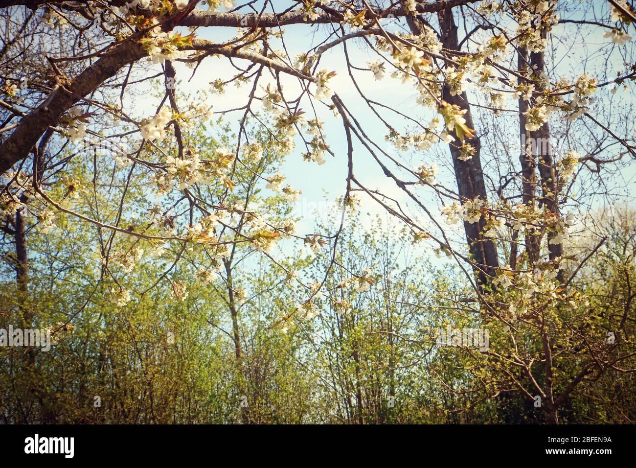 Printemps au Bayern, branches de pommiers pleines de fleurs blanches dans le verger, point de mire doux Banque D'Images