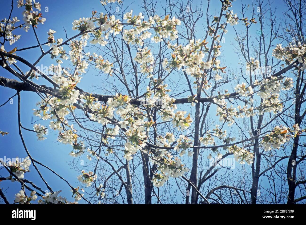 Printemps au Bayern, branches de pommiers pleines de fleurs blanches contre le ciel bleu, foyer doux Banque D'Images